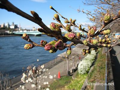 3月20日墨堤の桜