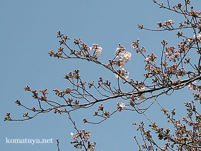 3月26日墨堤の桜